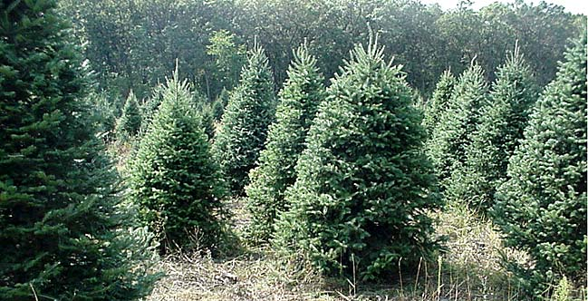 Christmas Tree Origin | Christmas Tree