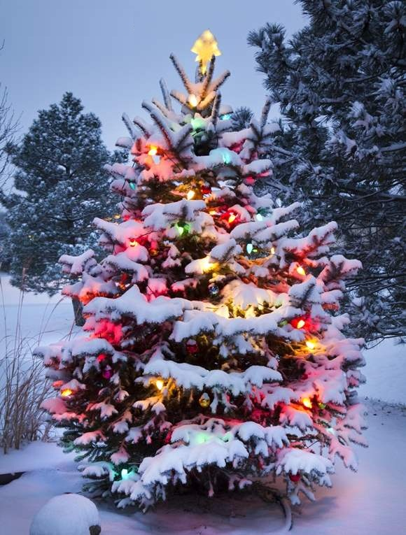 11 november 2014 christmas tree Outdoor christmas tree photos